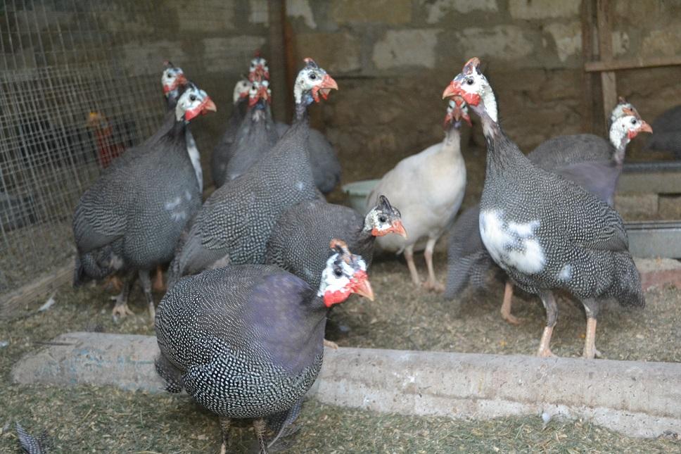 Adult guinea fowl